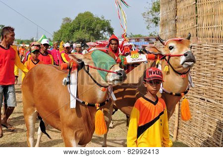 Jockey leads Bulls in Madura Bull Race, Indonesia