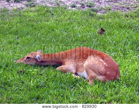 tired fawn
