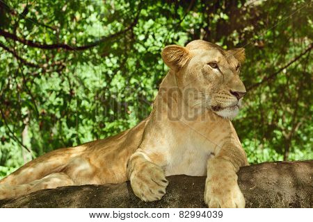 Female lion relaxing on a rock