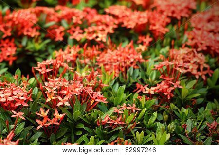 Red Ixora Chinensis