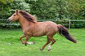 picture of galloping horse  - Side view of beautiful horse running. Shot in nature