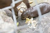picture of behemoth  - baby Hippopotamus in cage is sleeping near mother - JPG