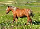 picture of brown horse  - brown horse with a white mane on meadow - JPG