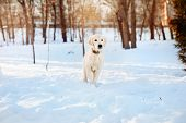 pic of golden retriever puppy  - Winter walk at snowing park of golden retriever puppy - JPG