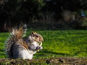 picture of eat grass  - Squirrel eating on a treat in a park in sunlight with green grass - JPG