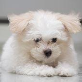 stock photo of dog breed shih-tzu  - Shih tzu puppy breed tiny dog on white background - JPG