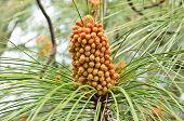 picture of pinus  - Closeup of a newly developed Pinus roxburghii male cone - JPG