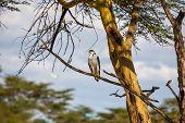picture of fish-eagle  - African Fish Eagle on a tree at Lake Naivasha Kenya - JPG