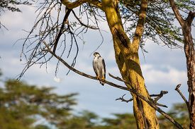 image of fish-eagle  - African Fish Eagle on a tree at Lake Naivasha Kenya - JPG