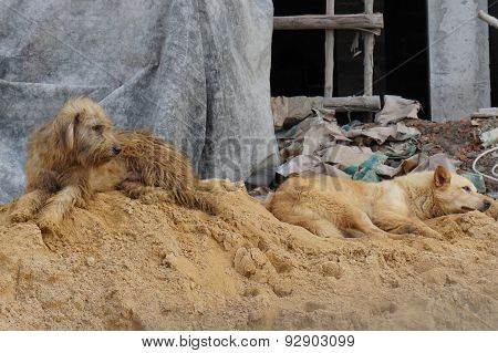 Two Sad Dogs On Sand Pile Construction