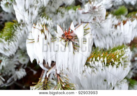 Mountain pine branch with snow.