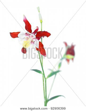 Aquilegia caerulea flower, vector