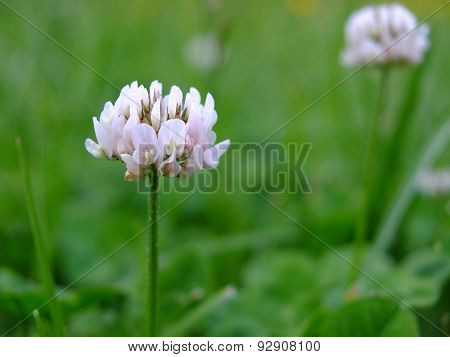 Inflorescence of clover