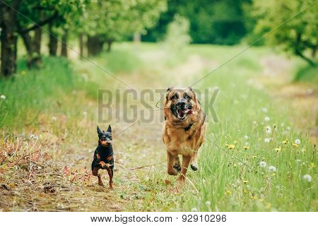 Brown German Shepherd And Miniature Pinscher Zwergpinscher Runni
