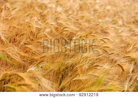 Blurred Barley Field Almost Ripe For Harvesting On A Sunny Summer Day.