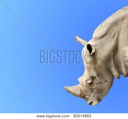 Head of rhinoceros on blue background