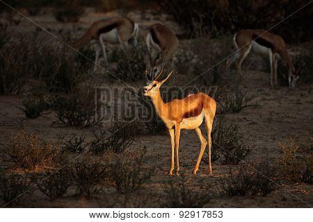 A springbok antelope (Antidorcas marsupialis) in late afternoon light, Kalahari desert, South Africa