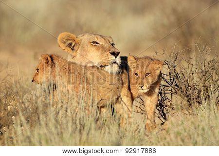 Lioness with young lion cubs (Panthera leo), Kalahari desert, South Africa