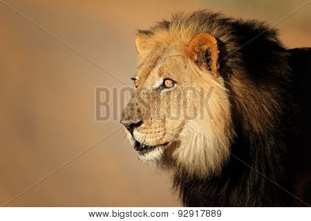 Portrait of a big male African lion (Panthera leo), Kalahari desert, South Africa