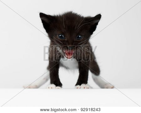 Closeup Cute Meowing Black Chocolate Kitten On White