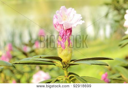 Branch Of Rhododendron Bush In Natural Habitat