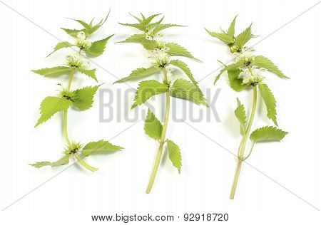 Fresh Nettles With White Flowers