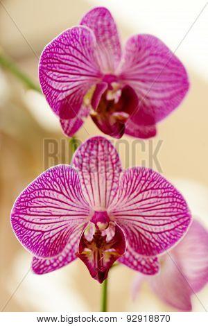 Purple Orchid Phalaenopsis