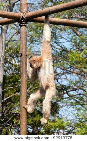 Climbing Gibbon