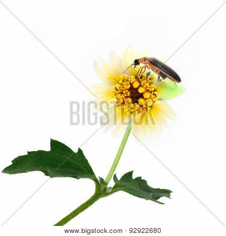 Firefly Perching Over Flower Isolate On White