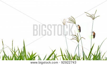 Firefly Perching On Grass Flower Isolate On White Background