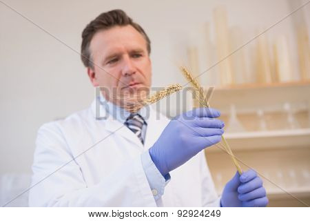 Scientist examining sheaf in the laboratory