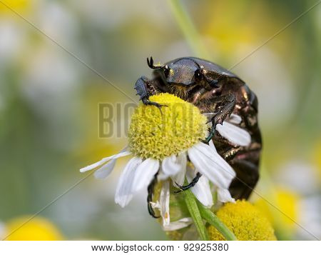 Close-up view to Cetonia aurata, on chamomile