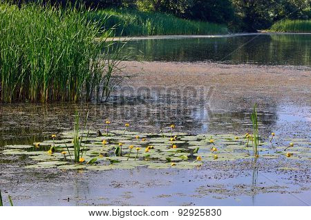 Blossoming Water-lily. Flowering Water Lily Yellow And Poplar Fluff