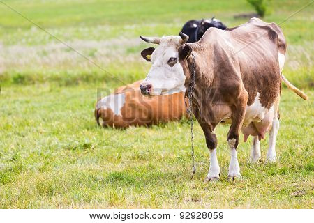 Portrait Of Cow On Pasture