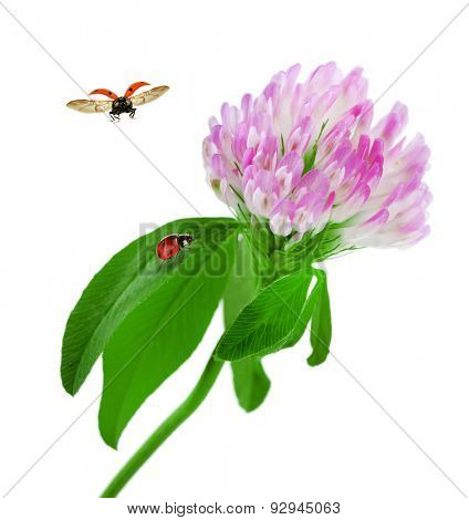 Clover flower with ladybirds isolated on white