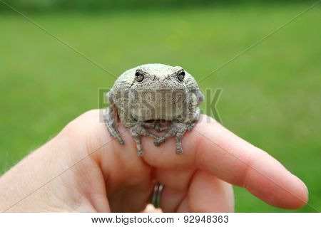 Persons Hand Holding Grey Tree Frog