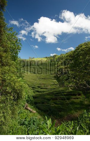 A Tea Plantation In Sao Miguel, The Main Island In The Azores