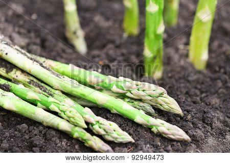 Organic farming asparagus in black soil