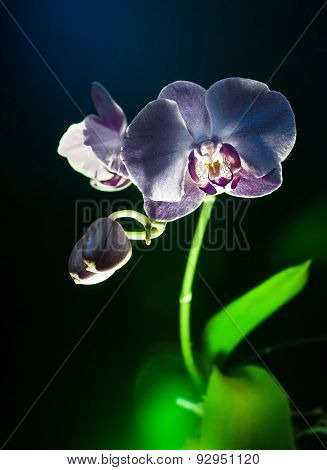 Blach Orchid Flower Vertical View