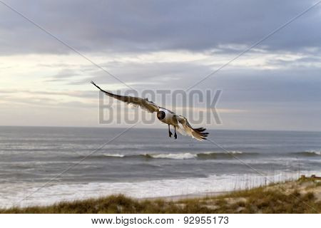 Seagull Flies At Dusk