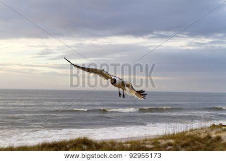 Seagull Flies At Dusk