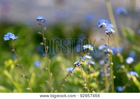 Blue Flowers Of Forget-me-not Or Myosotis