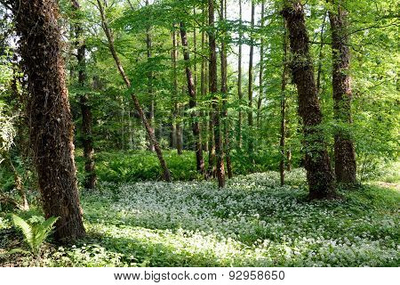 Ivied Trees, Fern And White Flowers In Forest