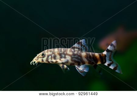 Botia Histrionica. Fish. Black Background Copy Space
