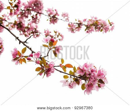 Spring Tree Blossom On White Background, Close Up
