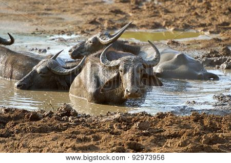 Water Buffalo Are Bathing In A Lake