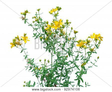Flower of Hypericum isolated on white