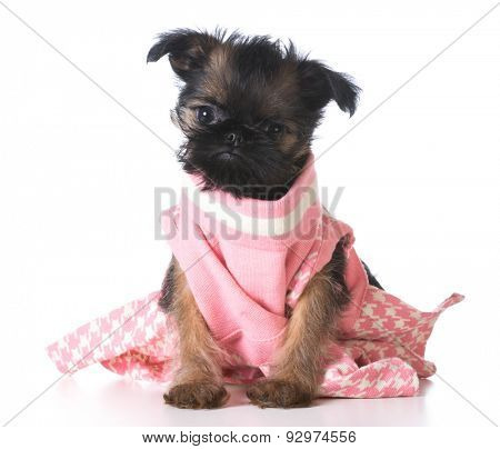 female puppy - brussels griffon wearing pink dress on white background
