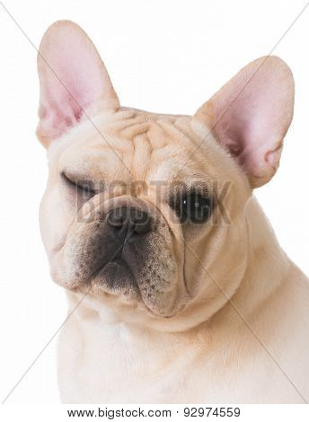 dog winking - french bulldog portrait with one eye open and one eye closed on white background