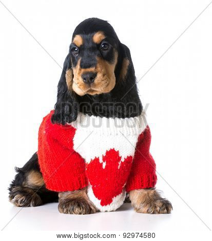 english cocker spaniel wearing red and white knit canadian sweater